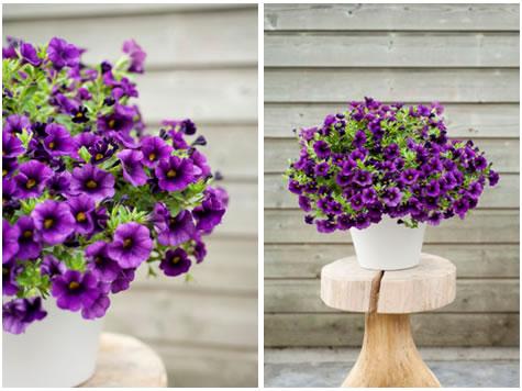 balkon_plant_vh_jaar_petunia