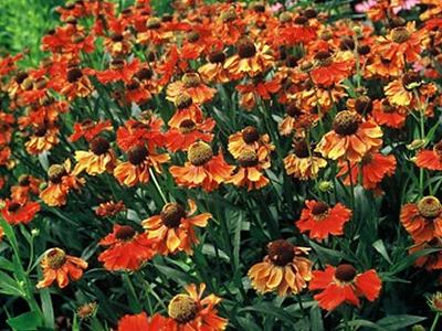 zomer bloeiers heesters